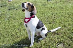 Petfinder Adoptable Dog | Beagle | Methuen, MA | Oliver Twist