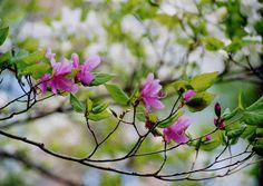 栃木からの山旅(日光:高山) Spring Blooms, Scenery, Gardens, Plants, Flowers, Landscape, Outdoor Gardens, Plant, Paisajes