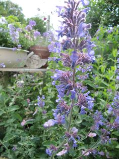 Catmint!