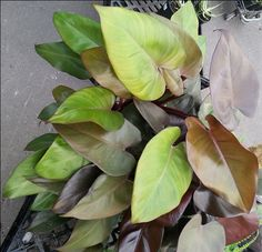 Philodendron 'Royal Queen'... sadly my photo doesn't do it justice!