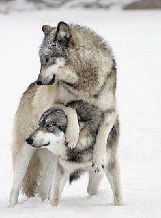 loups à jouer.