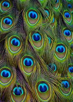 471 Best Peacock Images Peacock Design Peacock Colors Peacock Decor