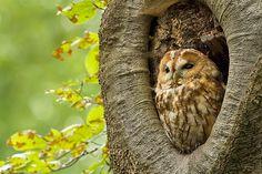 Eurasian Tawny Owl