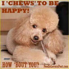 This is exactly what my poodle Monty is doing at the moment but with his grooming brush!
