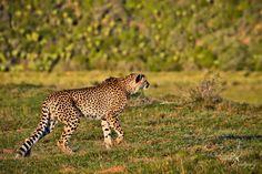 On the hunt... - Cheetah on the hunt, Shamwari Game Reserve, South Africa. 2017