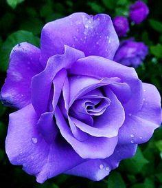Beautiful Rose Flowers, Pretty Roses, Love Flowers, Purple Love, Purple Rain, I Like Birds, Hybrid Tea Roses, Simply Beautiful, Flower Arrangements