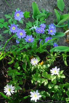 Balkan Anemones/A. blanda - 27.4.2002
