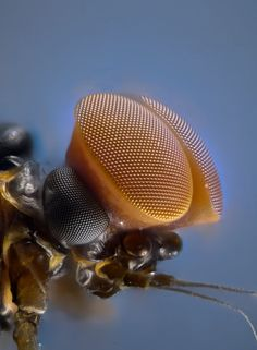 Turbinate eyes of male mayfly as can be seen with a stereoscope