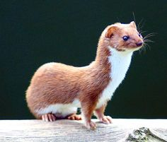 Least Weasel, Mustela nivalis -British Wildlife