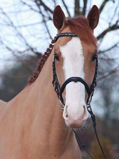 Justin, a Oldenburg gelding. German Horse Center.