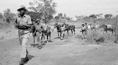 Torture victims of Kenyan Mau Mau uprising take colonial abuse to High Court  http://pronewsonline.com  Troops of the King's African Rifles carry supplies on horseback. They are escorted by armed soldiers on watch for Mau Mau terrorists. ©Wikipedia