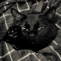 Los gatos negros son generalmente más tranquilos que los blancos, que están siempre muy nerviosos.