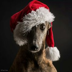 It's October 2nd and this greyhound is already getting excited for the holiday season!