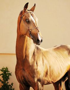 """haefir: """" Akhal-Teke stallion Gorez """" let's take a moment to imagine this coming out of the ocean to your house and trying to eat you there not saying that would ever happen but if it did i would totally write a book about it creepy eyes are creepy Majestic Horse, Beautiful Horses, Akhal Teke Horses, Breyer Horses, Barrel Racing Horses, Horse Gear, Animal Jam, Horse World, Horse Pictures"""