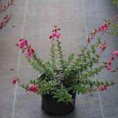 Ierse heide (Daboecia cantabrica 'Rood') 15/20cm