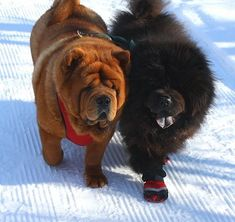 Chow Chow dog for Adoption in Prescott, ON. ADN-54811 on PuppyFinder.com Gender: Female. Age: