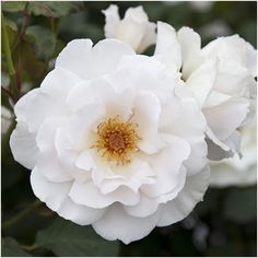 Floribunda - True pearly white blooms tinted with soft pink. Born in small clusters on a Jessica David, Standard Roses, Moon Garden, Shades Of White, Bloom, Nursery, Plants, Pink, Gifts