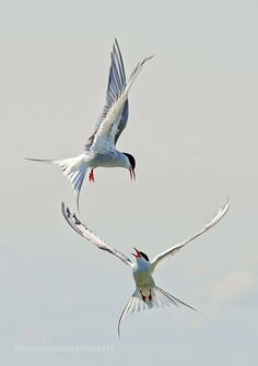 Arctic Terns by andrew2chu via http://ift.tt/1Ty0ECk