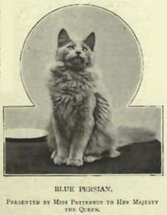 A Blue Persian cat from the Victorian Era. The Nebelung exhibit strong traits of the Victorian Blue Persian. Bastet, Nebelung Cat, Cat Stands, Fancy Cats, Lots Of Cats, Grey Cats, Vintage Cat, Domestic Cat, My Animal