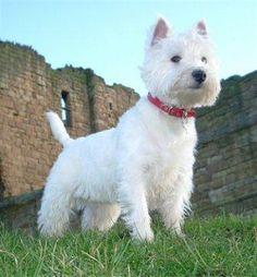 West Highland White Terrier http://www.mascotadomestica.com/razas-perros/west-highland-white-terrier.html