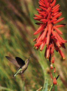 You can create a hummingbird habitat in your garden, providing nectar and shelter for these beautiful, tiny birds. Rain Garden, Garden Club, Garden Soil, Dream Garden, Lawn And Garden, Garden Plants, Gardening, Hummingbird Habitat, Hummingbird Plants