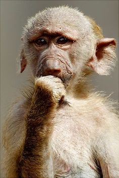 We all know primates are smart but this baby baboon deep in thought looks the brightest of them all.