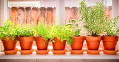 Grow Edible Plants Indoors for a Year-Round Garden Common Lawn Weeds, Weeds In Lawn, Herb Garden, Lawn And Garden, Best Herbs To Grow, Growing Herbs Indoors, Acid Loving Plants, Lawn Fertilizer, Herb Pots
