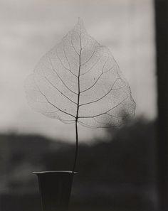 Olive Cotton (1911-2003),Skeleton Leaf.1964.Gelatin silver photograph,24.7 × 19.6cm