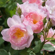 English Roses Scarborough Fair - Most Abundantly Flowering - Repeat-flowering English Roses - English roses - bred by David Austin Bed Of Roses, Pink Roses, Pink Flowers, Tea Roses, Exotic Flowers, Yellow Roses, Roses David Austin, David Austin Rosen, Pretty Roses