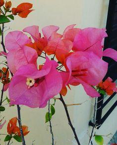 Bugambilia rosa