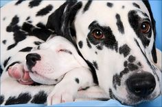Dalmatian puppy blended in with all the spots...aweee