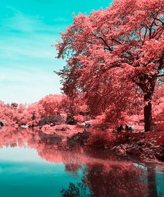 Photographer Paolo Pettigiani uses infrared photography to transform the lush green trees and grass of Central Park into milky, cotton candy pinks.