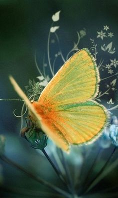 "Some-kinda Butterfly (whatca macallit) ~ Miks' Pics ""Butterflies and Moths l"" board @ http://www.pinterest.com/msmgish/butterflies-and-moths-l/"