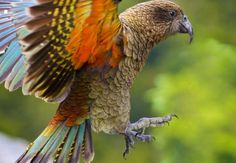 Learn all about the kea, New Zealand's famously cheeky mountain parrot, and find out where to see them on a day trip to Milford Sound. Parrot Facts, New Zealand Mountains, 10 Interesting Facts, Collective Nouns, New Zealand South Island, Milford Sound, Colorful Birds, Beautiful Birds, Beautiful Places
