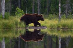 Brown Bear Stunning Photography, Nature Photography, Brown Bear, Finland, Creatures, Pictures, Animals, Image, Amazing