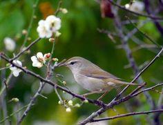 梅の花の季節。春がやってくると、梅の花が見られ、気持ちいい。眠気もあるけど、季節感は一番好きだ。梅にウグイスといったところでしょう。  http://timein.jp/item/content/memo/980199156