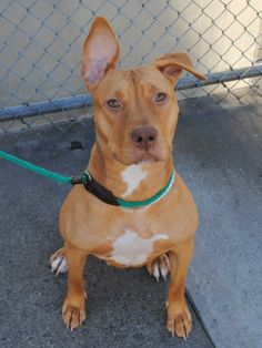 SAFE !  12/07/13  Brklyn Ctr   KARMA  #A0981700 Female tan & wht staffordshire mix SEIZED 10/10/13 JUST A BABY @ 1 YR 1 MTH Extremely sociable & friendly, showed a high level of hyperarousal, biting leash. Responsive to correction, shows a capacity for self-restraint that will most likely blossom with training.  Incredibly sweet & affectionate. Her exam was AWESOME but she is NH only because of energy. This girl needs  a break on a better life. CAN YOU CHANGE KARMA'S  DESTINY TO POSITIVE?