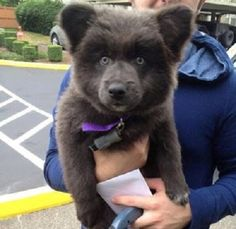 dog that looks like a bear - Google Search