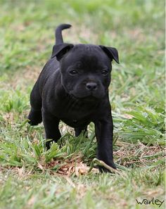 Pitch black staffy pup. Awesome dog