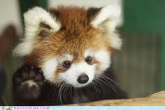 who wouldn't want to come home to a little red panda greeting them every time?