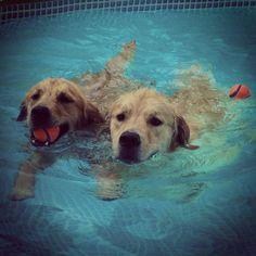 swimming doggies #goldenretriever #golden #dogs