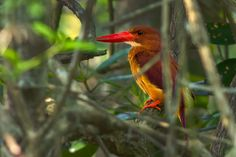 The Ruddy Kingfisher (Halcyon coromanda) is a poorly understood kingfisher species. An uncommon kingfisher in the subcontinent, it is found in the Eastern Himalaya, NE India and Bangladesh, from tropical and subtropical evergreen forests as… Bay Of Bengal, Evergreen Forest, Kingfisher, Conservation, Birds, Prayer, Nature, Animals, Image