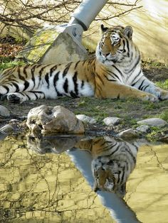 """One of my Favorite animals is the """"TIGER"""""""