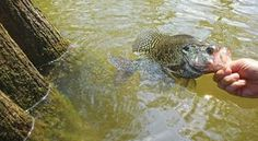 How to Catch Huge Fall Crappies Pike Fishing, Crappie Fishing, Carp Fishing, Best Fishing, Fishing Tips, Crappie Bait, Fishing Stuff, Common Carp, Aquatic Ecosystem