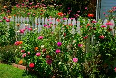picket fence with zinnias