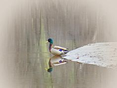 Mallard Duck is about to head onto the Ashuelot River in Keene, NH on an early morning in May.