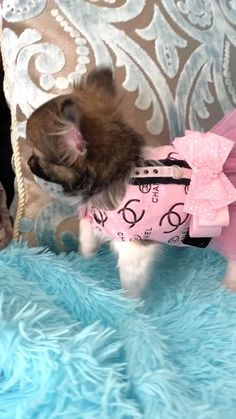 Teacup Chihuahua Puppies, Cute Baby Puppies, Teacup Puppies For Sale, Really Cute Puppies, Super Cute Puppies, Cute Chihuahua, Cute Baby Animals, Cute Puppy Videos, Cute Animal Videos