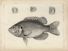 Set of Two Original Antique  Tinted Lithographs Of Fish from  USPRR dated 1857 - 17 dollars each great buy- Black and white by Printvilla4you on Etsy https://www.etsy.com/listing/292678759/set-of-two-original-antique-tinted