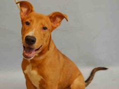 SAFE 7-10-2015 --- Manhattan Center PHINEAS – A1042773  MALE, BROWN / WHITE, CAROLINA DOG MIX, 7 mos STRAY – STRAY WAIT, NO HOLD Reason STRAY Intake condition UNSPECIFIE Intake Date 07/05/2015