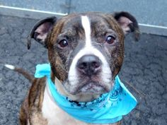 ☆ GONE BUT NOT FORGOTTEN ☆ TO BE DESTROYED - 01/29/15 Manhattan Center -P My name is MISO. My Animal ID # is A1025752. ~~ SENIOR ALERT~~ I am a male br brindle and white american staff. The shelter thinks I am about 7 YEARS old. I came in the shelter as a OWNER SUR on 01/18/2015 from OUT OF NYC, owner surrender reason stated was PERS PROB.